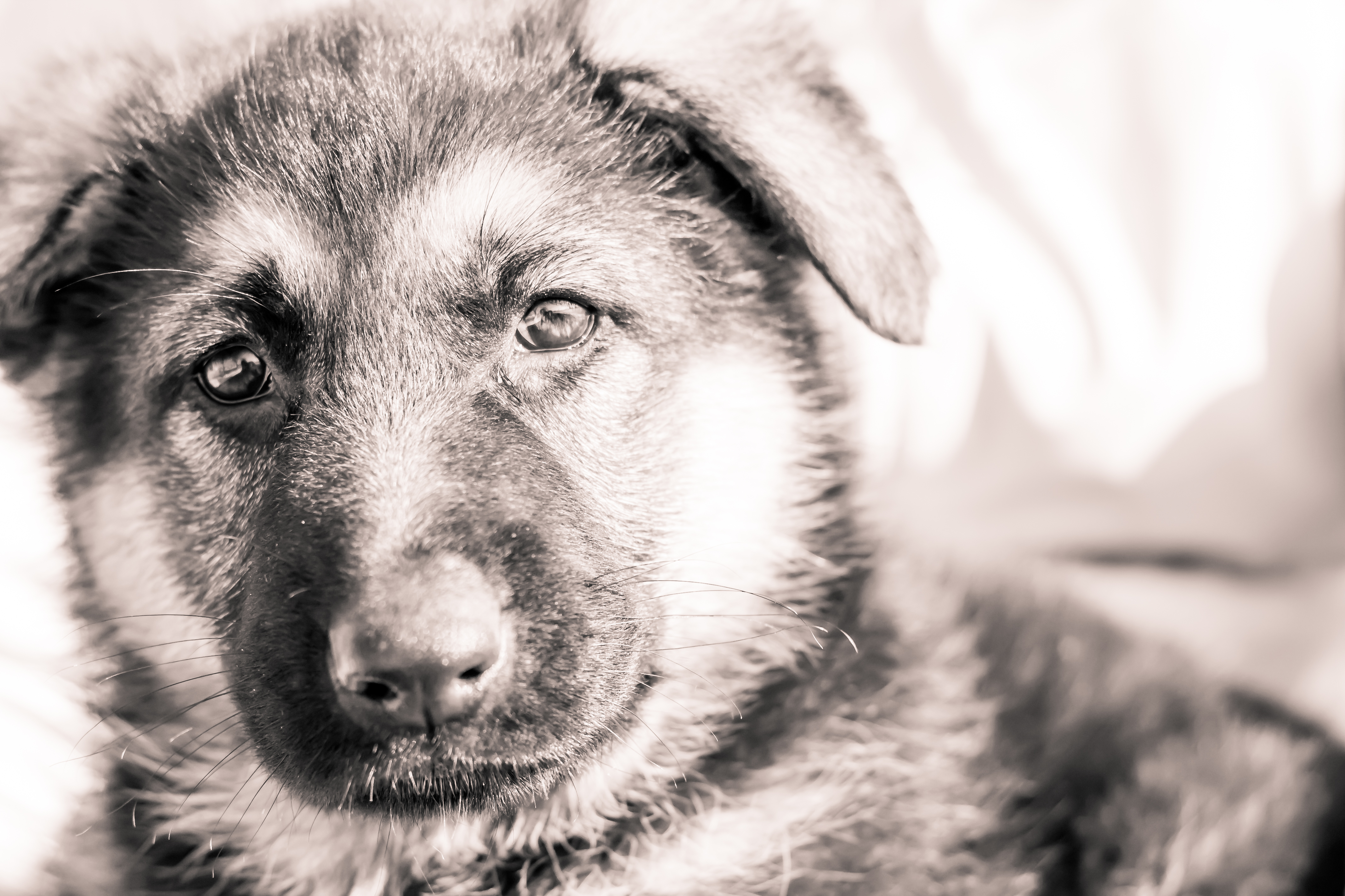 how to draw a german shepherd puppy step by step