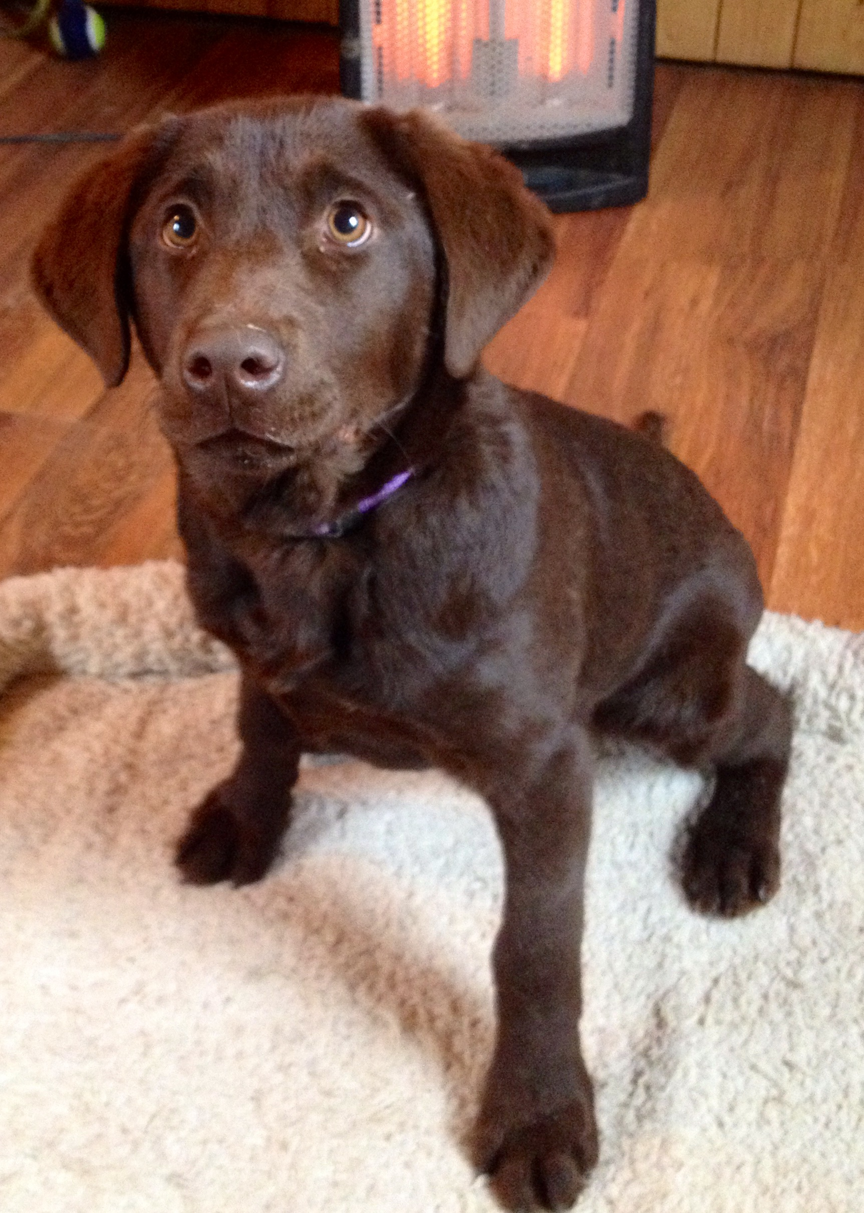 Female Chocolate Lab Placed Puppy Steps Training
