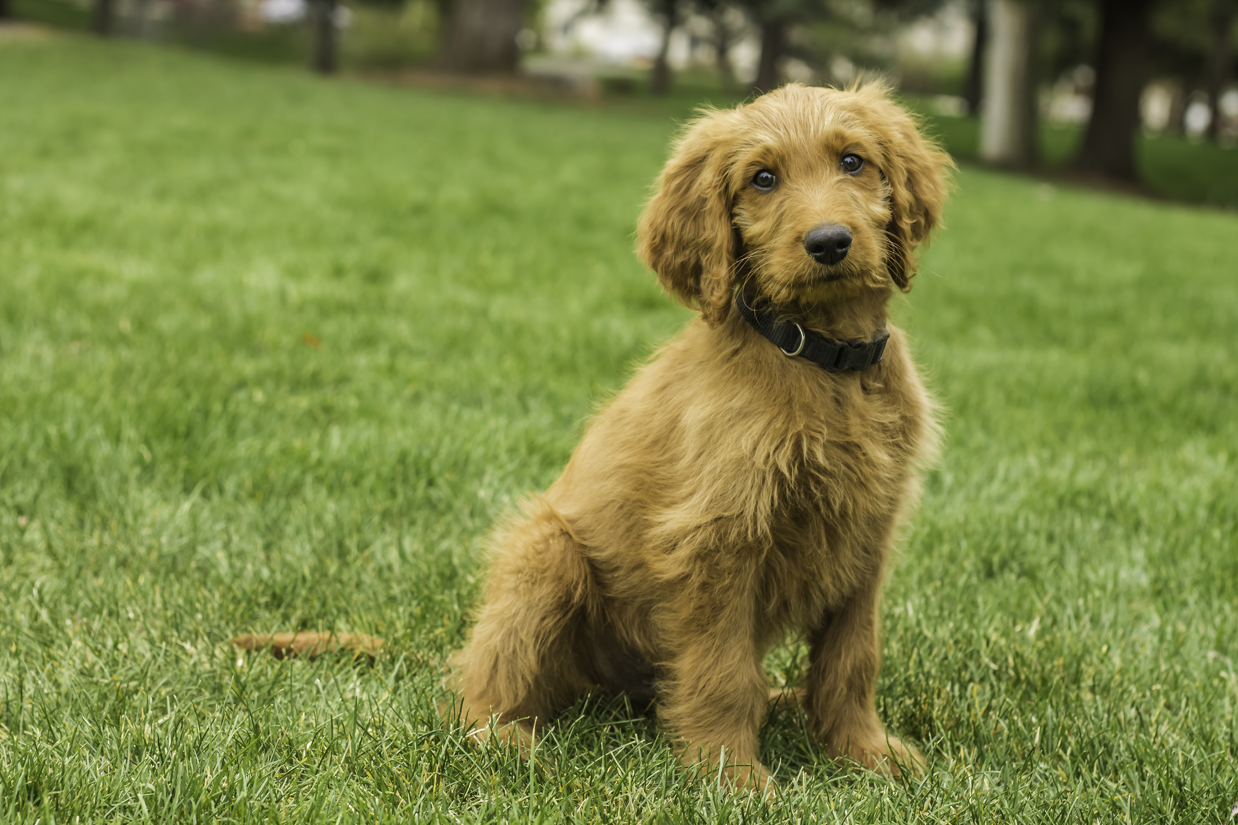 Male Goldendoodle Puppy Placed Puppy Steps Training