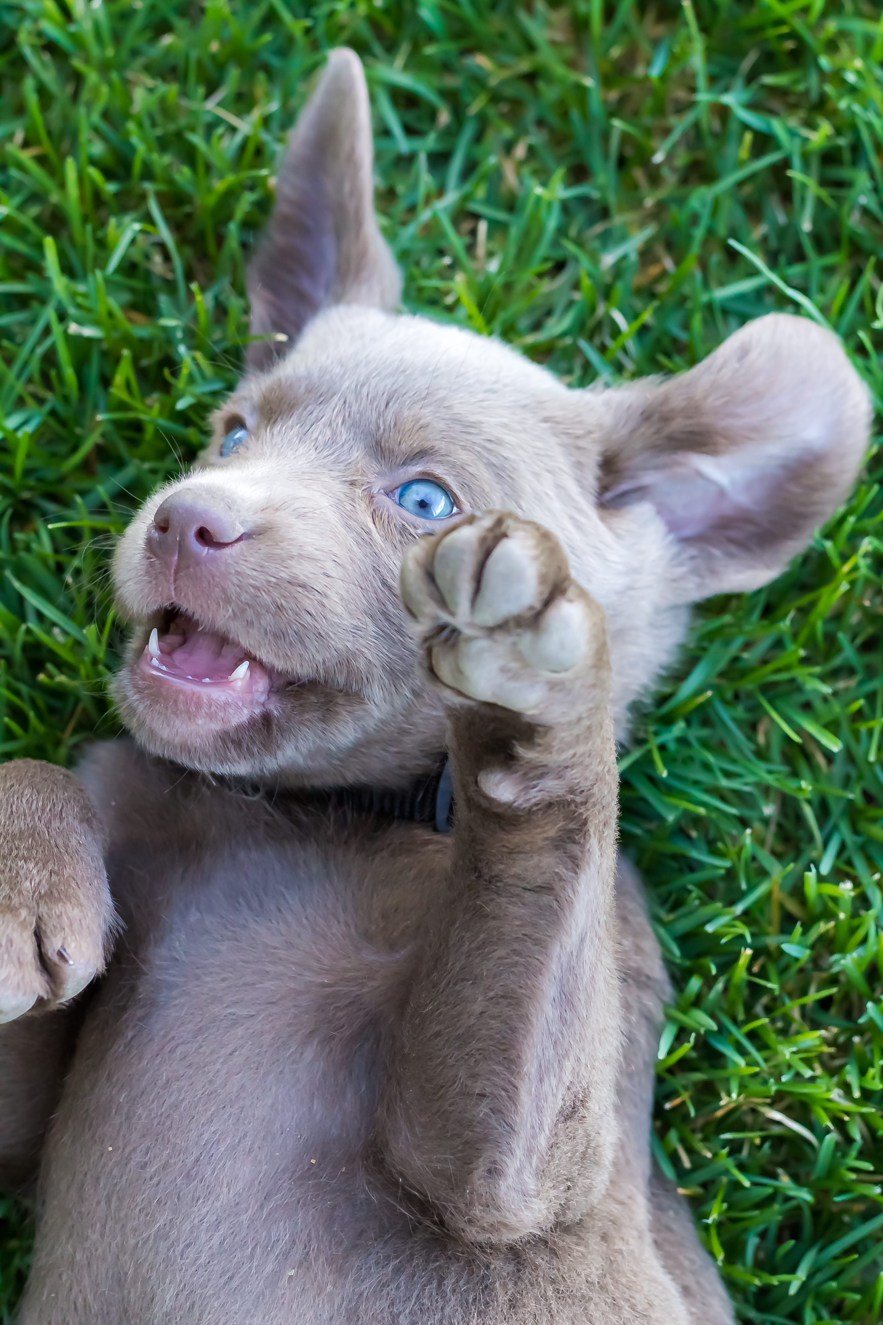 Female Silver Lab Puppy — PLACED – Puppy Steps Training