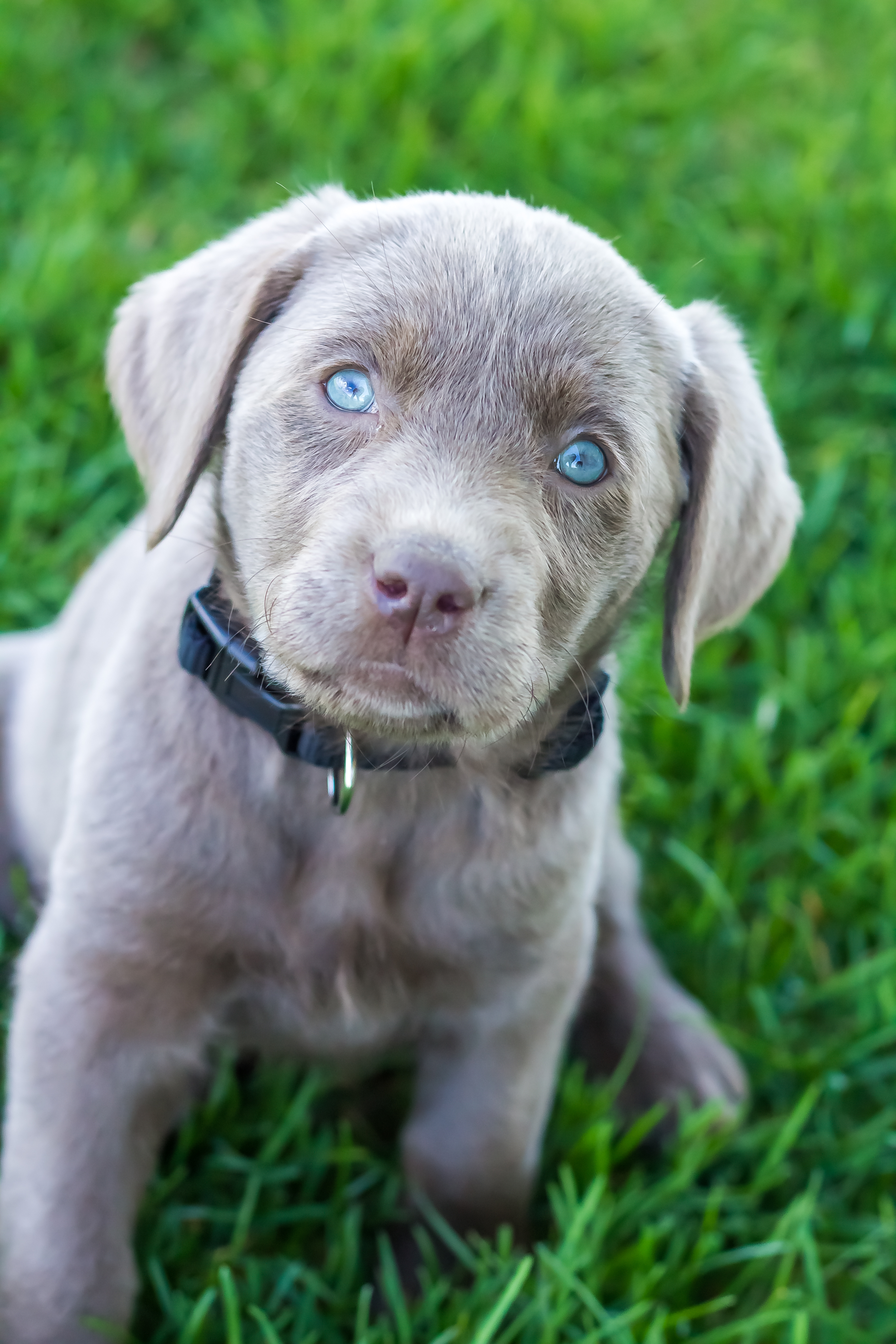 Female Silver Lab Puppy Placed Puppy Steps Training