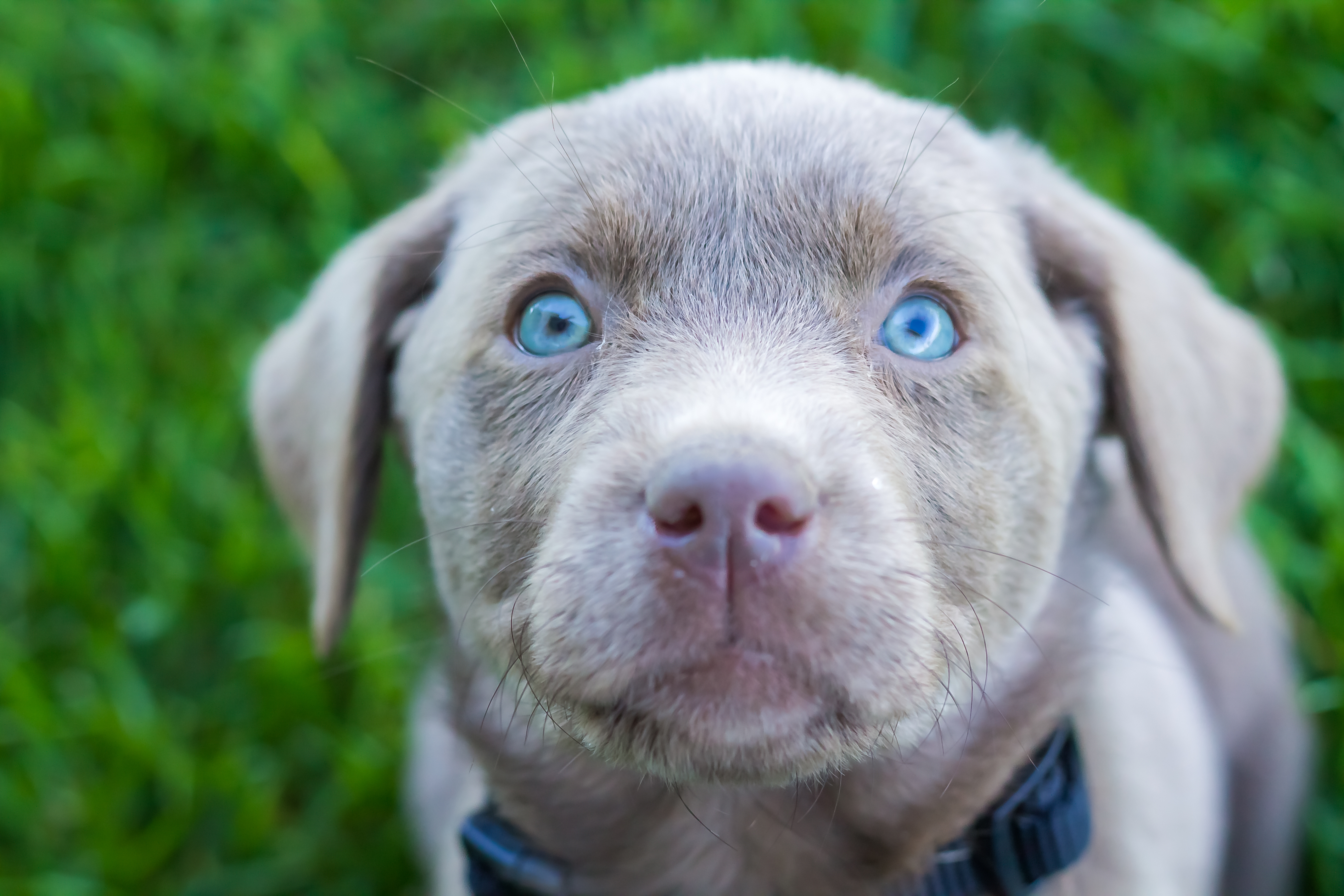 Female Silver Lab Puppy Placed