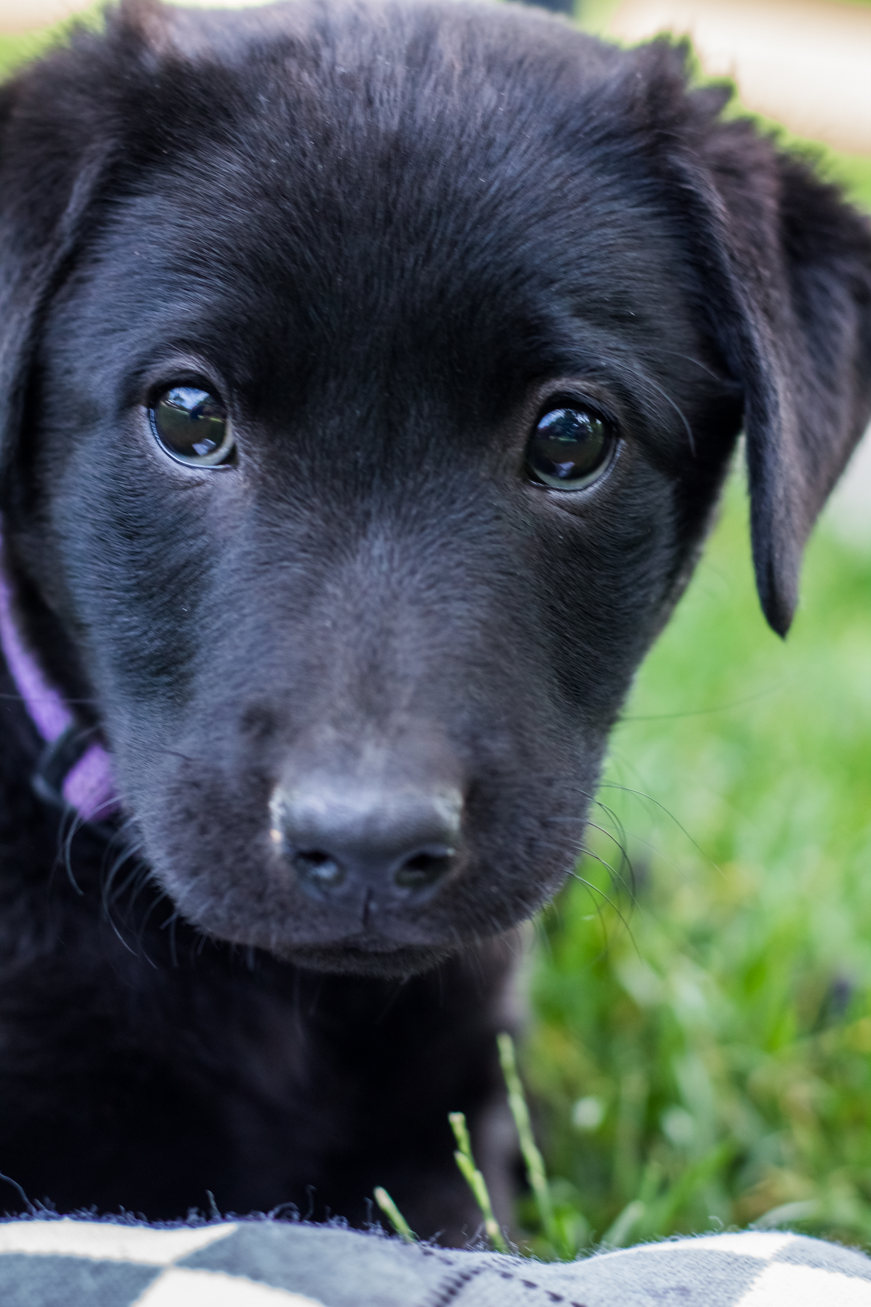 Baby Black Lab Puppies For Sale