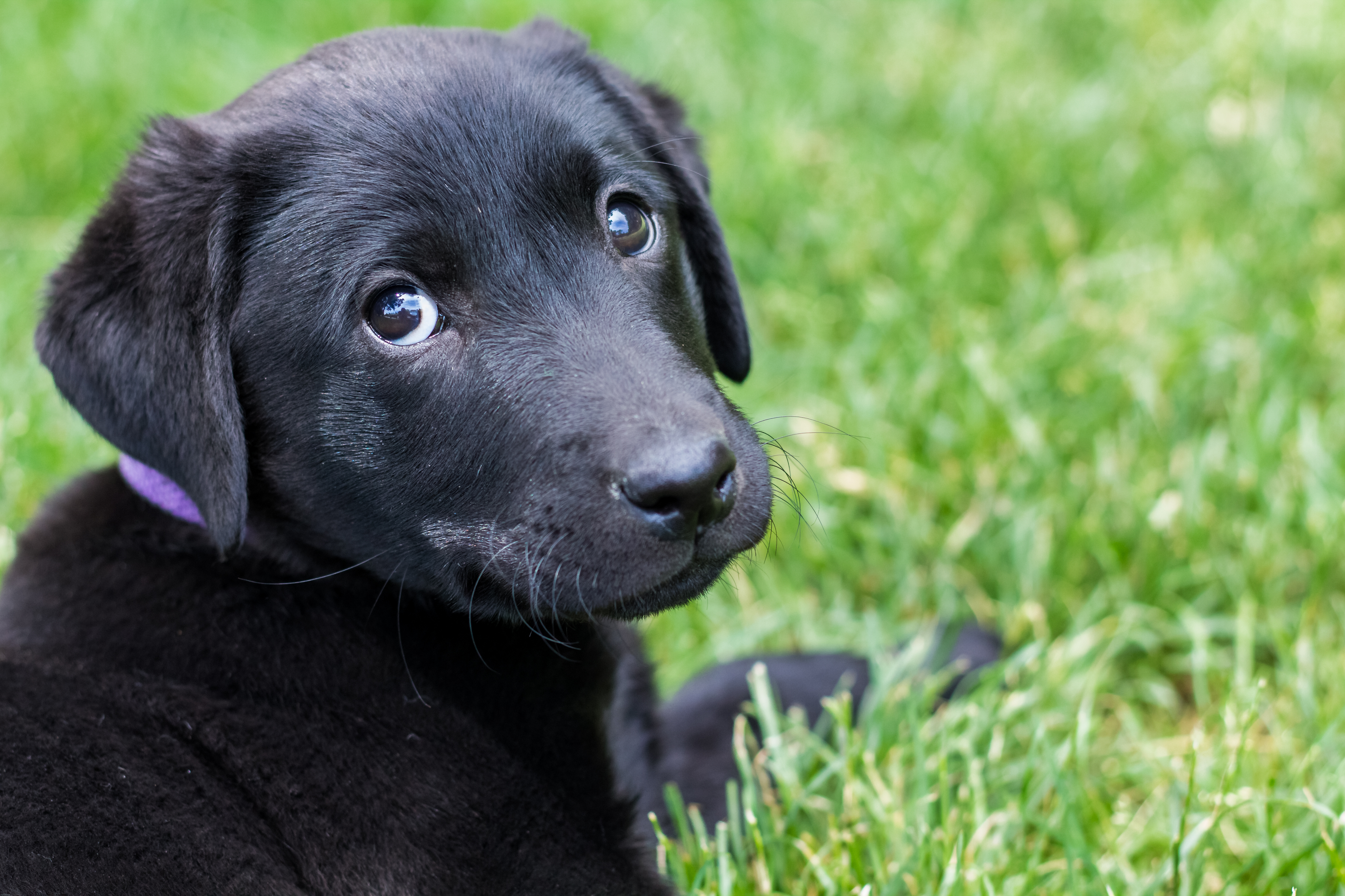 Black Lab Female Puppy - Goldenacresdogs com
