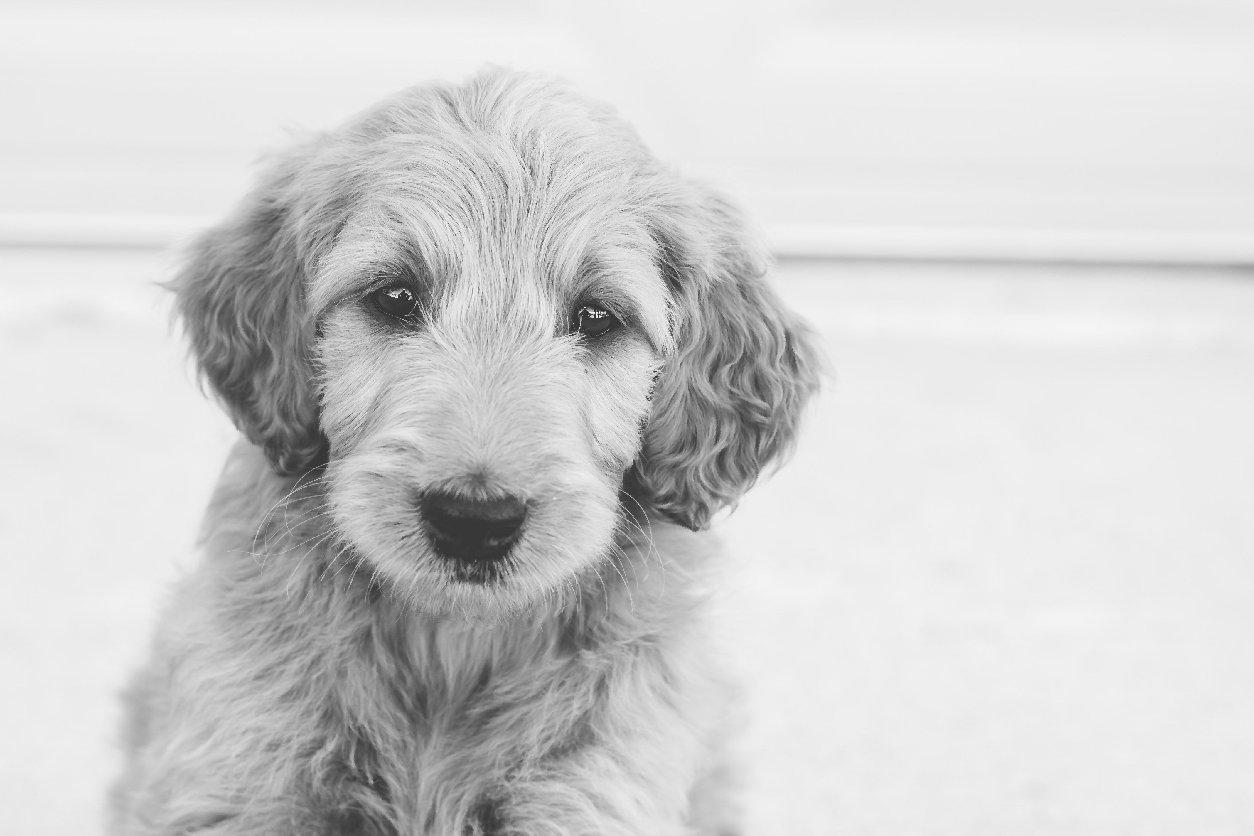 Female Golden Doodle Puppy Placed Puppy Steps Training