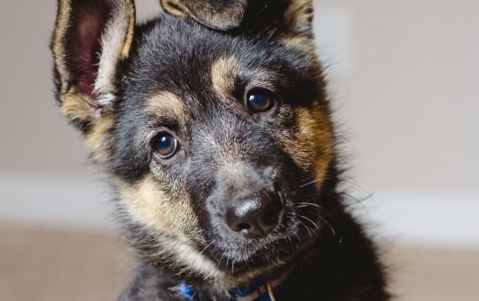 German Shepherd Starting Training This Spring – Reserved
