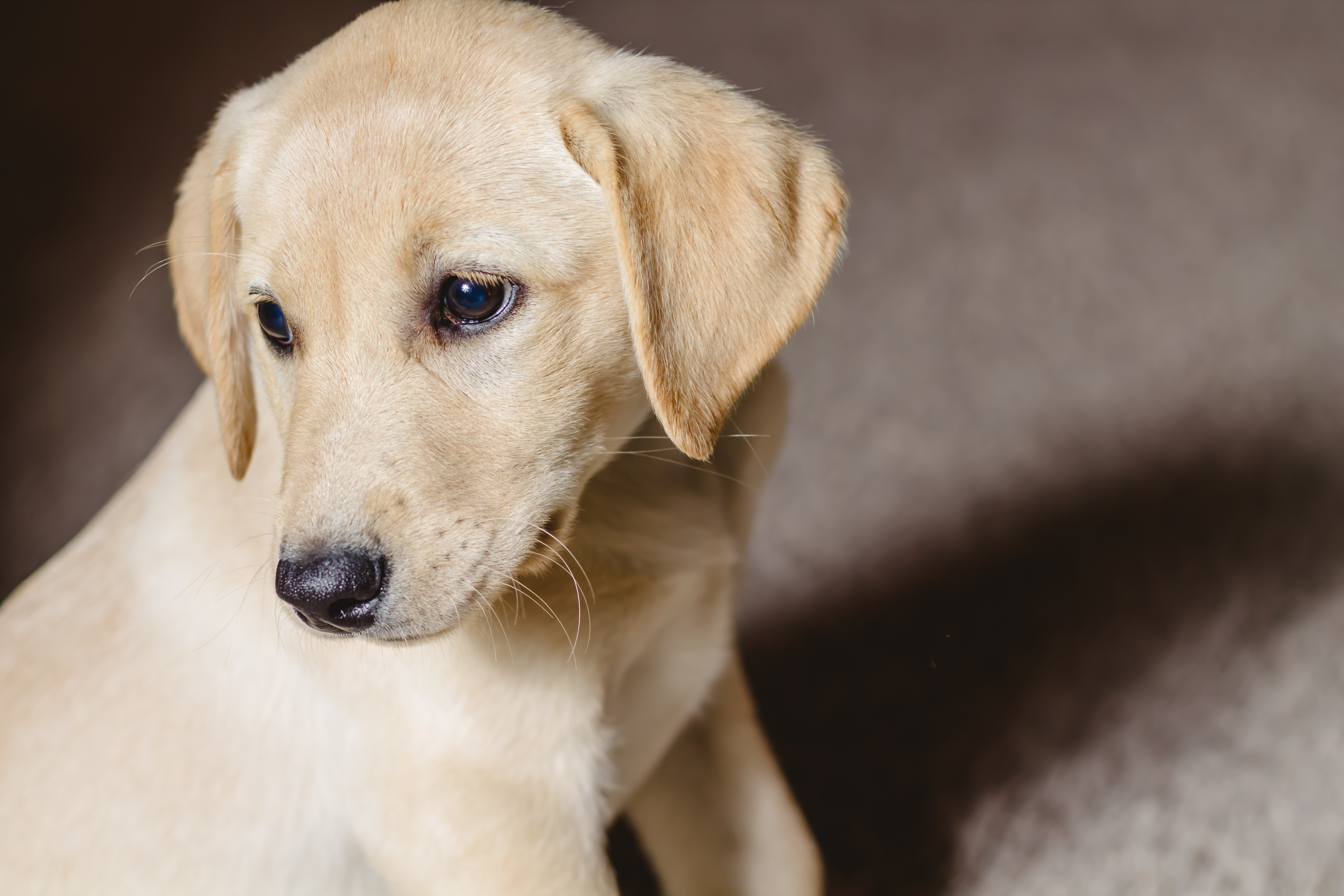 Female Yellow Lab Puppy- Placed