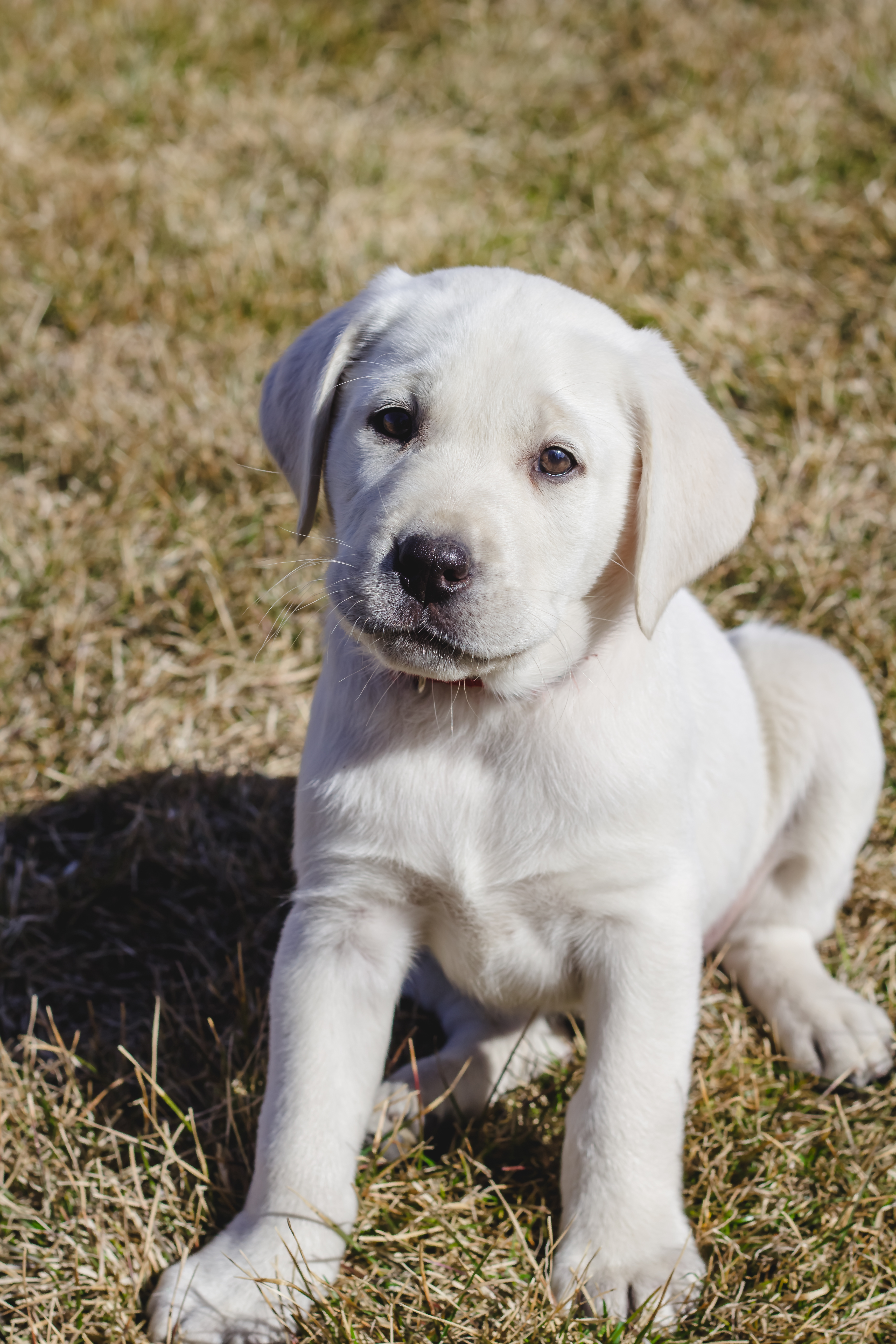 Male White lab Puppy Wesson – PLACED – Puppy Steps Training