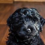 puppy1-11