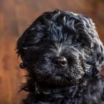 puppy1-9