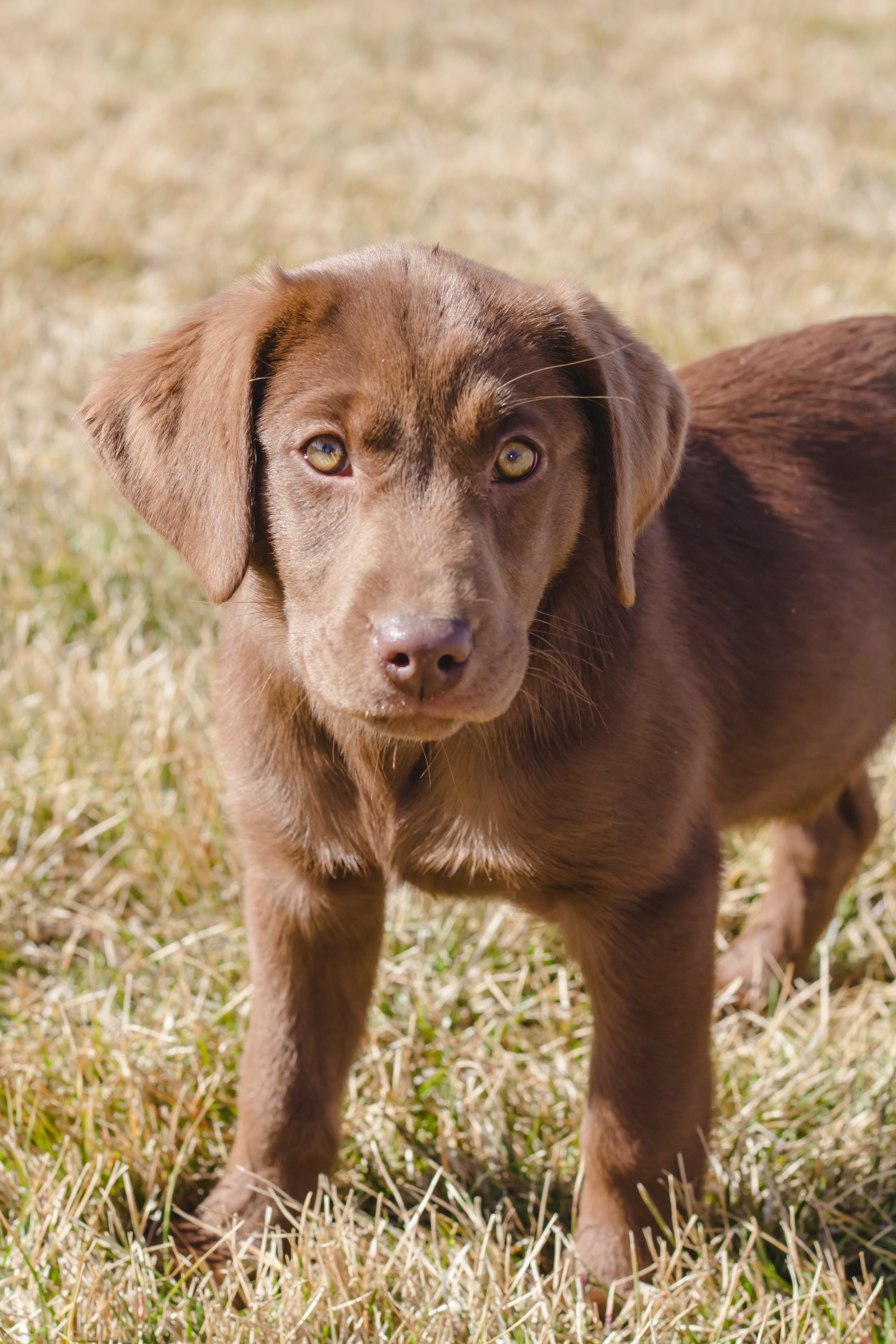 Female Chocolate Labrador Puppy Placed Puppy Steps Training