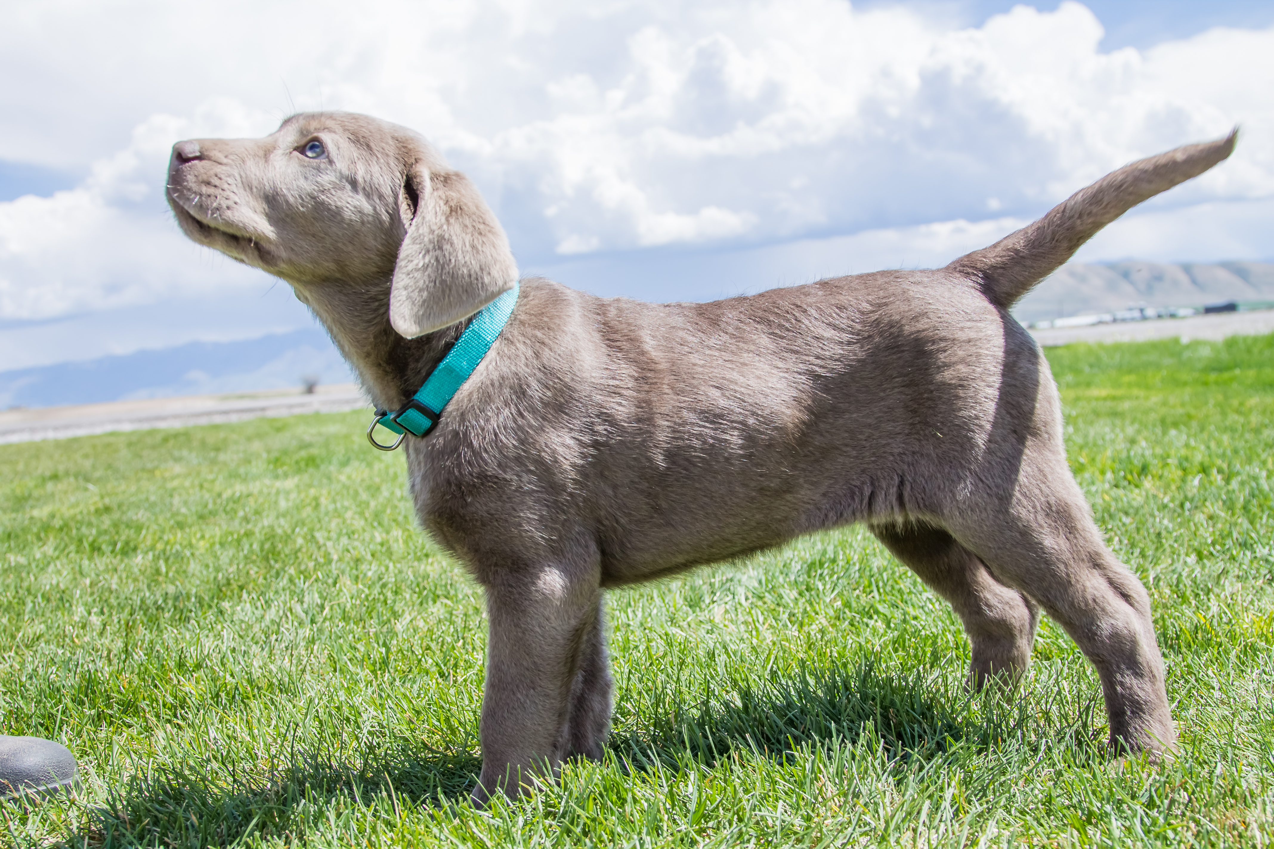 Female Silver Lab Puppy – PLACED – Puppy Steps Training