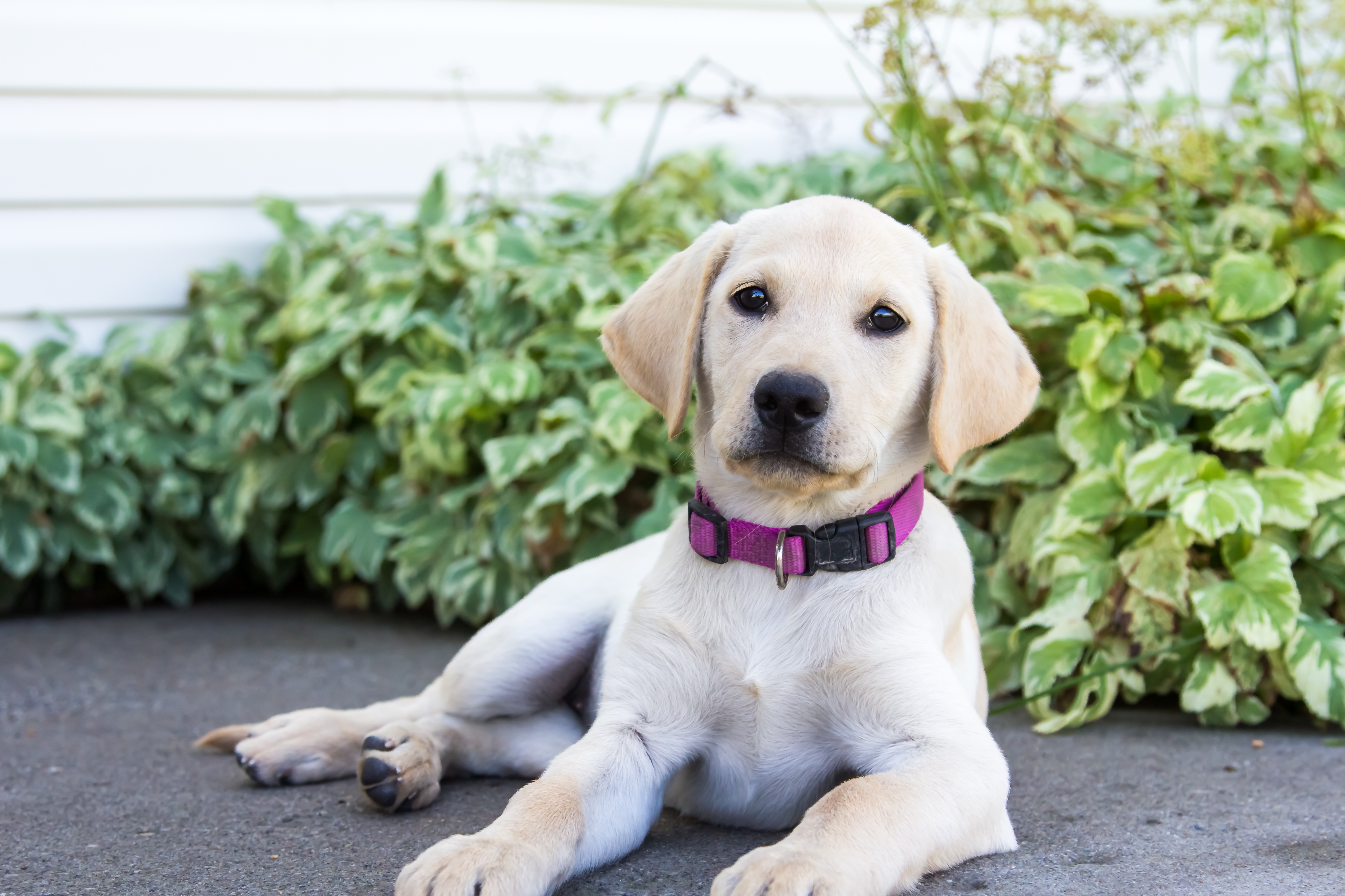 Female Yellow Lab Puppy Sadie Placed Puppy Steps Training