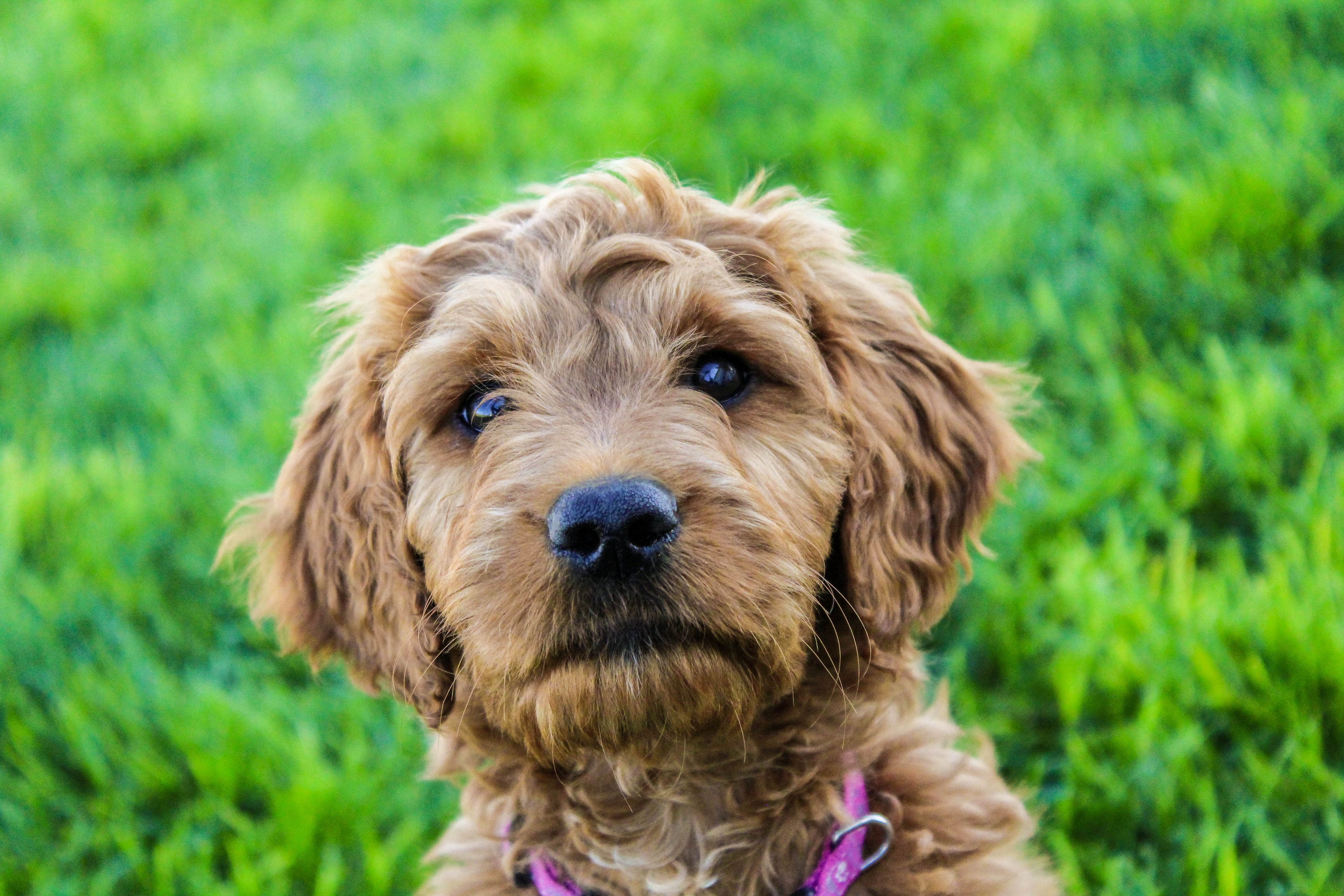 Female Goldendoodle Puppy Placed Puppy Steps Training