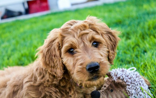 Male Irish Goldendoodle Coming Soon!