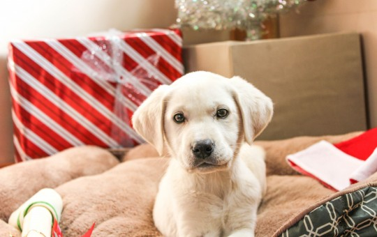 Female White Labrador Retriever Ready In Time For Christmas – Placed