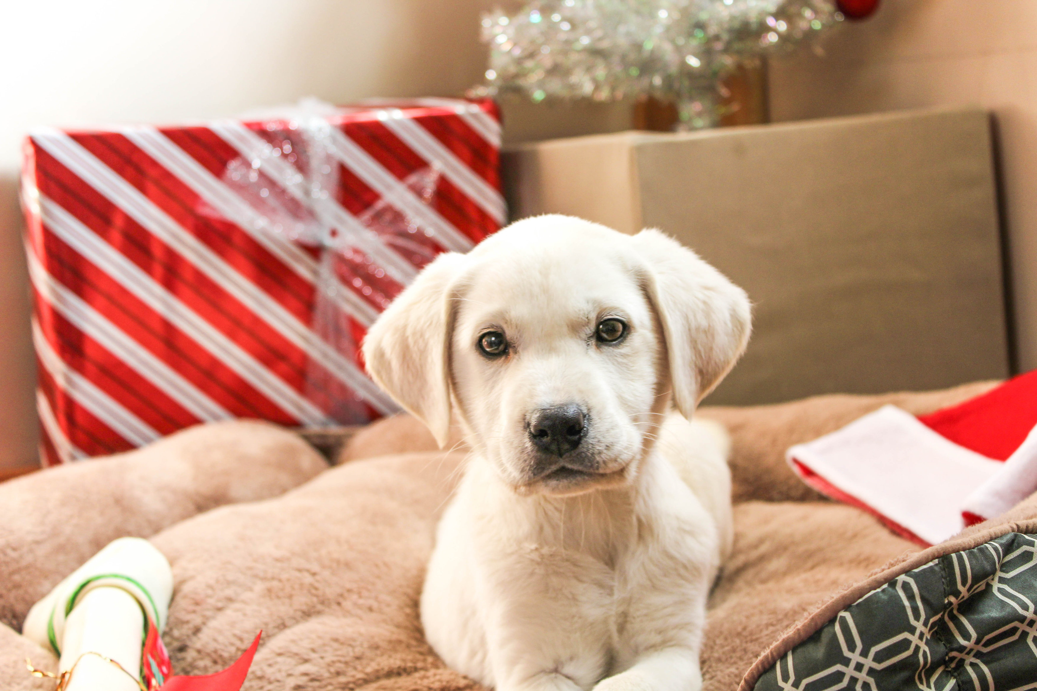 Female White Labrador Retriever Ready In Time For Christmas – Reserved