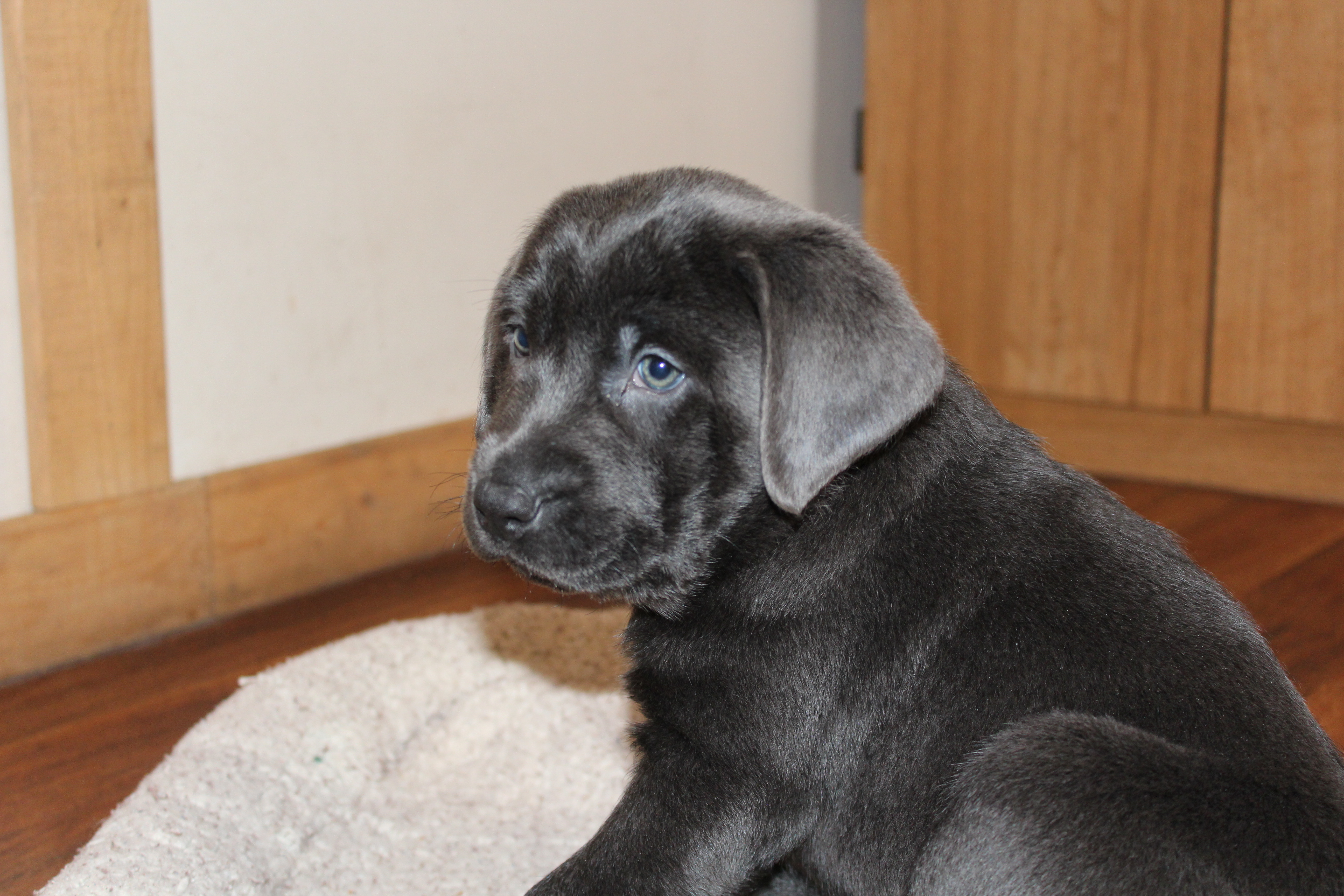 Male Charcoal Lab Puppy – Placed – Puppy Steps Training