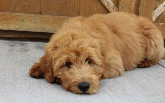 Male And Female Irish Goldendoodles -Placed