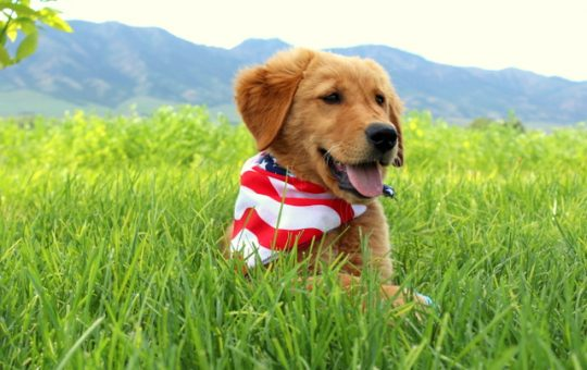 Ready For Summer Male Golden Retriever – Charlie- Available