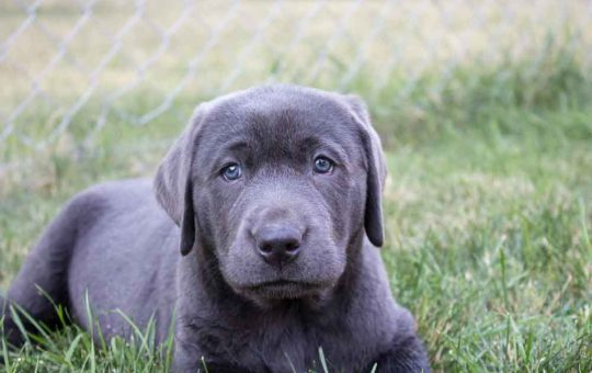 Coming This Fall For Christmas – Silver and Charcoal Labrador Retrievers