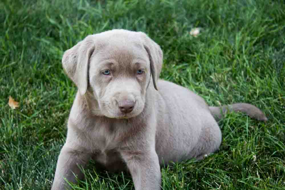 Male Silver lab Puppy -Bow- Placed – Puppy Steps Training