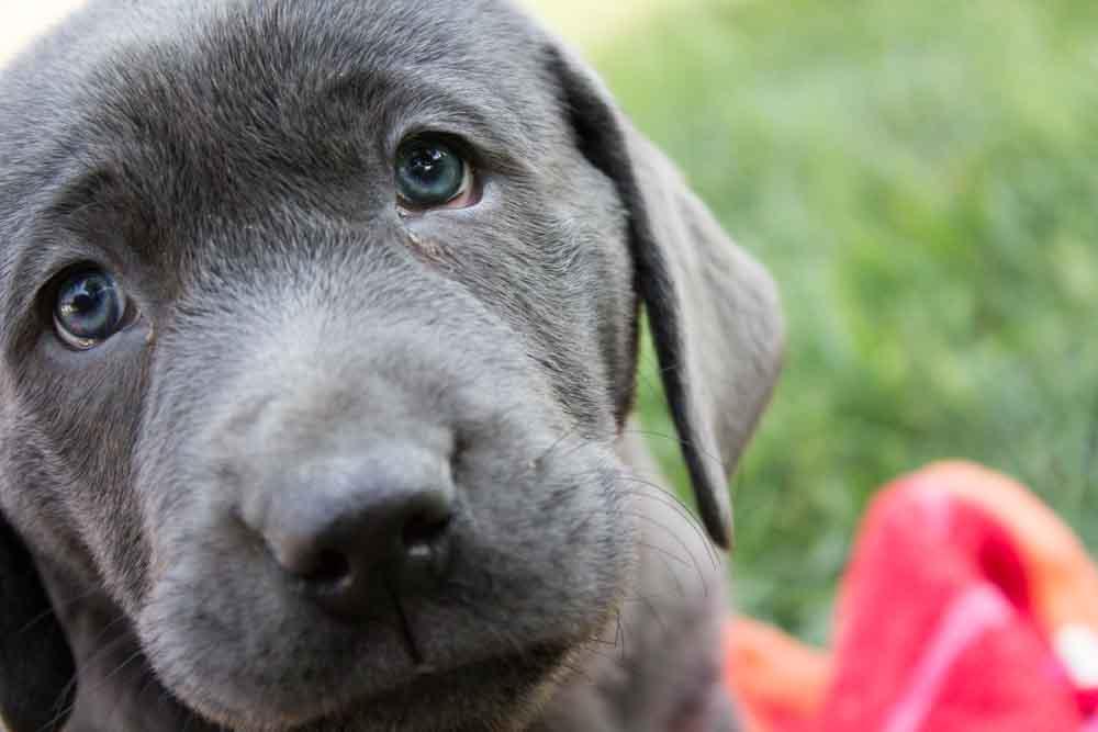 Female Charcoal Lab Puppy – Colette- Placed – Puppy Steps