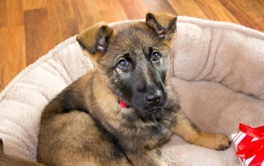 Beautiful Female Red Sable German Shepherd Puppy- Placed