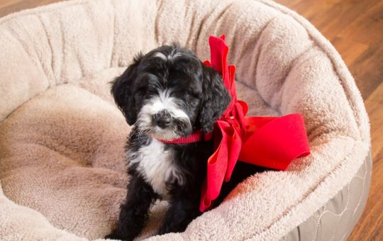 Holiday Male Tuxedo Goldendoolde Puppy – Placed