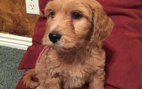 Christmas Female Goldendoodle Puppy – Placed