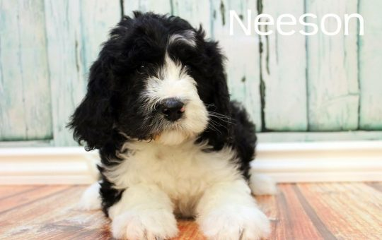 Beautiful Male Sheepadoodle Puppy – Placed