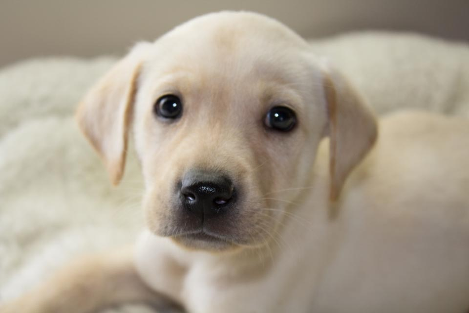 Male Yellow Labrador Retriever Puppy – Remmy – Available