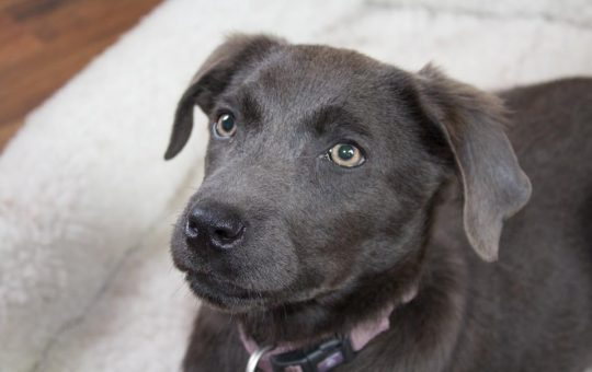 Female Charcoal lab Puppy – Placed