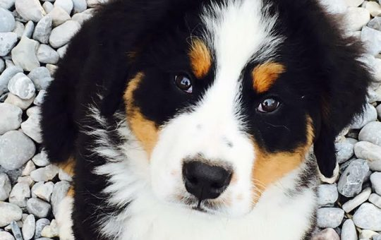 Male Bernese Mountain Dog Puppy – Grizz- Placed