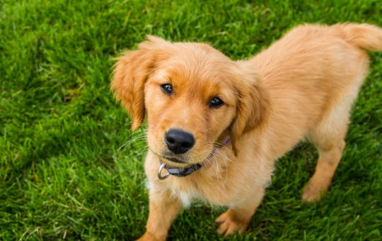 Ready for Summer Male Golden Retriever Puppy – Placed