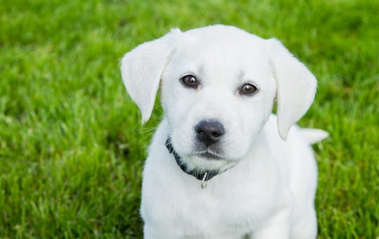 Female White Labrador Retriever Puppy – Snow White- Reserved