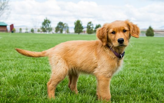 Coming For Christmas – Golden Retriever Puppy – Reserved