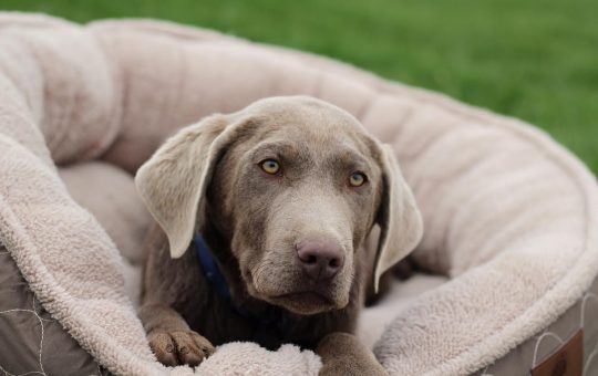 Summer Sale! Exclusive Offer On Our Top Of The Line Silver Lab Puppy- Placed