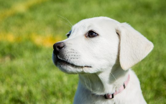 Adorable Female White Lab Puppy – Placed
