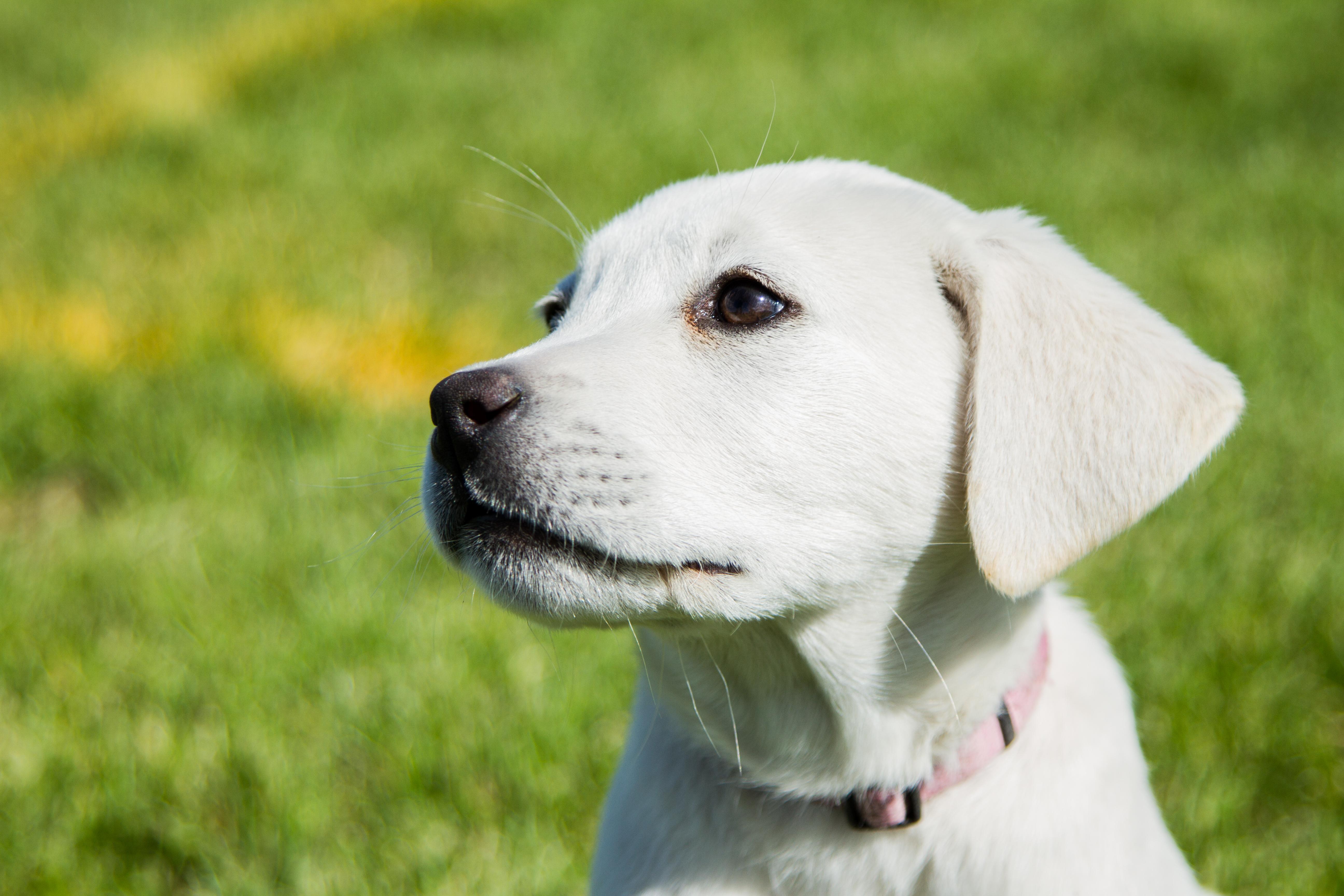 Female White Labrador Retriever – Jane