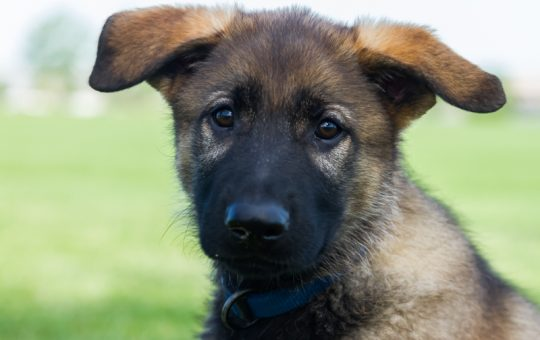 Unique Sable Coat Male German Shepherd – Reserved