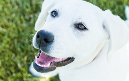 Beautiful White Labrador Retriever Female Puppy – Reserved