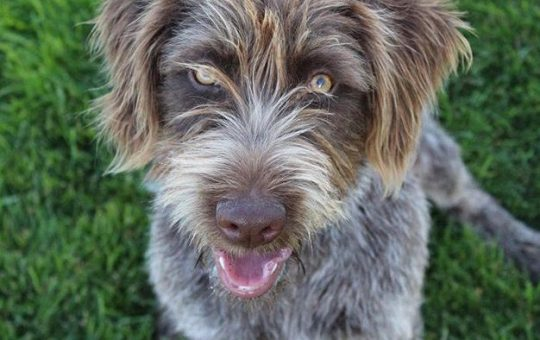 Wirehaired Pointing Griffon Puppies Coming Soon!