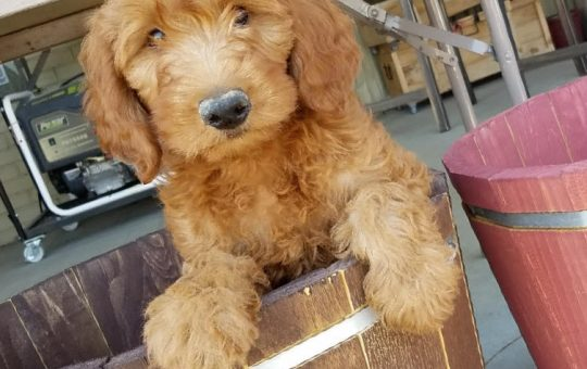 Christmas Time Male Irish Goldendoodle – Buddy – Available