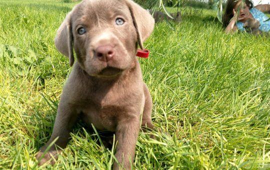 Adorable Female Silver Lab Puppy – Reserved