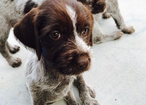 Wirehaired Pointing Griffon Puppies Available 09/11/2017