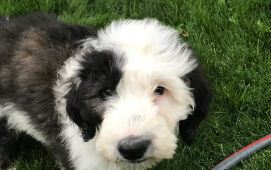 Beautiful Male Sheepadoodle – Placed