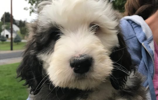 Unique Sable Coated Female Sheepadoodle – Placed