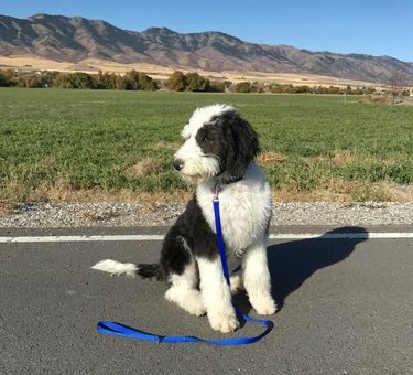 Reduced Price! Female Sheepadoodle Ready For A Home Today! – Placed