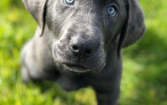 Beautiful Male Charcoal Labrador Retriever Puppy – Cole